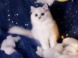 常年出售金吉拉猫 包纯包健康 支持全国发货
