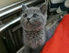 英短蓝猫个人自己养的