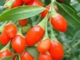陕西奥尔康生物供应优质枸杞 提取物50%多糖