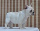 纯种的法国斗牛犬多少钱 宠物店的狗靠谱吗