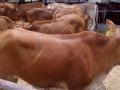 批发肉牛犊,黄牛犊,花牛犊 母牛公牛