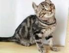 猫舍繁殖美短宝宝出售,急,价不高要的快来!
