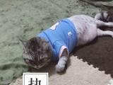 超可爱英短母猫,一岁
