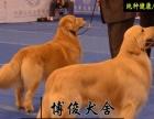 大头版大骨架金毛出售 纯种居家好宠物金毛 公母都有 金毛犬是