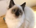 维多利亚名猫馆出售精品名猫两千起价