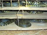 重庆专业养水律蛇技术怎么养欢迎在线了解