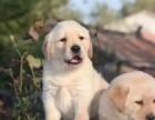純種忠實聰明拉布拉多導盲犬出售 公母均有 活潑可愛