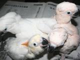 出售葵花鸚鵡 金剛鸚鵡 灰鸚鵡 折衷鸚鵡 凱克 大緋胸鸚鵡