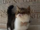 猫舍出售 纯种 加菲猫幼猫 驱虫疫苗齐 包健康