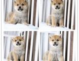 狗场直销出售纯种柴犬,血统纯正保健康签协议