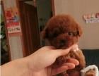 现货大头茶杯体泰迪幼犬 宠物泰迪现货狗狗 狗狗可视频选购