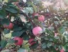 易县高陌苹果采摘园