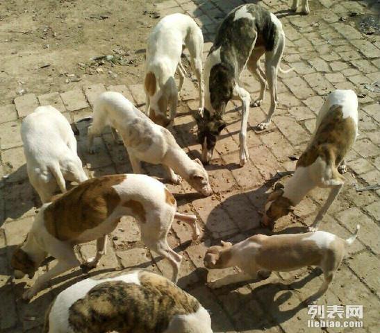 格力犬惠比特灵缇最低价格就在山东济宁猎犬驯养基地