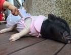 小小猪出租上海展览庆典暖场有人气