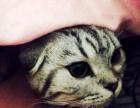 一个半月到三个月苏格兰折耳猫/虎斑折耳猫/美短折耳