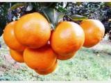 四川春见柑桔嫁接苗价格,哪里有耙耙柑桔苗,宜宾批发柑橘果树苗