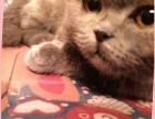 自家的折耳猫一只想找一位有爱心的朋友收养
