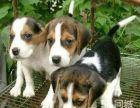 纯种比格猎兔犬 纯血统签协议保健康疫苗齐上门优惠