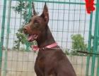 3个月的杜宾犬2500元(公母均有)疫苗齐全