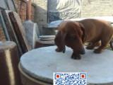 出售纯种的腊肠幼犬宝宝 本犬舍专业繁殖腊肠宝宝