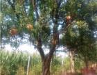 山东枣庄峄城区盆栽石榴树基地,盆栽石榴树销售