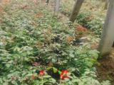 莱州批量售盆栽大花品种月季2-5元每盆