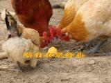 青脚土鸡苗批发重庆土鸡苗价格青脚黄羽土鸡苗销售秀山土鸡苗养殖
