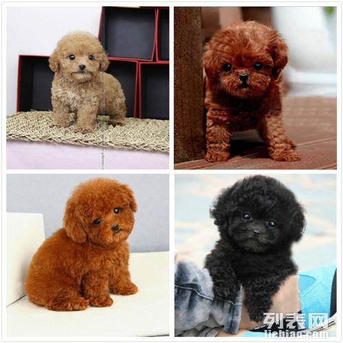 广东大型养狗场 赛级韩系小体 玩具泰迪幼犬 血统纯正
