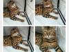 纯种豹猫出售 疫苗做