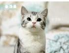 双CFA血统 美短加白 美国短毛猫 虎斑 起司猫