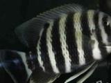 卖十间鱼送鹦鹉鱼