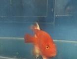 出售红白财神鹦鹉鱼