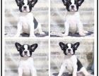 本地犬舍出售纯种德国牧羊犬 双血统带证书
