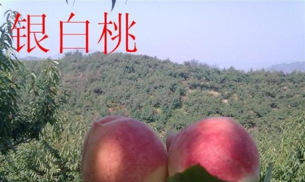 大量供应销售秋白桃.艳红桃九宝桃寻找合作销售伙伴