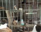 燕子观赏鸽 彩背观赏鸽 金鱼观赏鸽等60多种观赏鸽出售