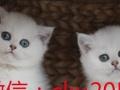 纯种短毛猫纯正猫猫猫4
