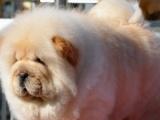 松狮 牛头梗 沙皮 秋田斗牛犬 火爆销售 放心犬