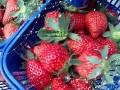 上海郊区农家乐二日游 摘草莓 烧烤 唱歌 滴水湖