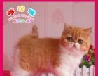 佛山哪里有放心猫舍猫舍直销,加菲幼猫,纯种健康,协议质保