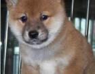 济南哪有柴犬卖 济南柴犬价格 济南柴犬多少钱