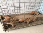 家养纯种沙皮犬便宜出售了 喜欢的可以加我详聊