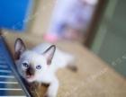 西安暹罗猫找新家,照片持续更新