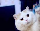 纯种英短蓝猫蓝白