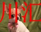 川汇本地吉娃娃犬销售,周口可以送货,视频挑选,签协议