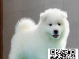 微微笑脸,超级可爱萨摩,多只可以挑选,可见狗父母 19只在售