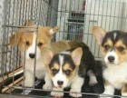 纯种柯基犬 三色双色均有 血统品质** 可全国发货