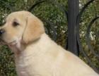家养的纯黑色拉布拉多家养的转让了,可看家里的大狗哦