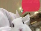 家养宠物兔(垂耳、猫猫、侏儒、暹罗、喜马拉雅侏)