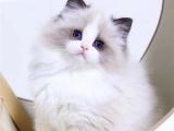 天津汉沽纯种双血统仙女猫到哪买