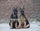 纯种德国牧羊犬哪里超帅警犬护卫犬德牧最便宜价格